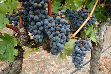 Grape clusters ready for harvest