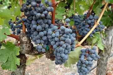 Healthy grape vines at harvest in Napa, California