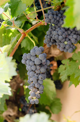 Vine with black grapes