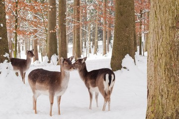 Some deers standing in the snow in forest in winter