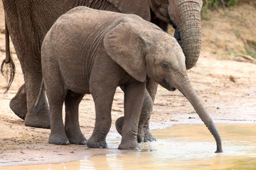 Elephant family drinking water to quench their thirst on very ho