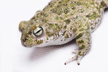 Bufo calamita (Runner toad)