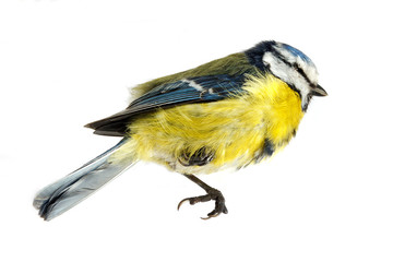 A close-up of a deceased blue tit