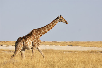 Giraffe walking in the savanna