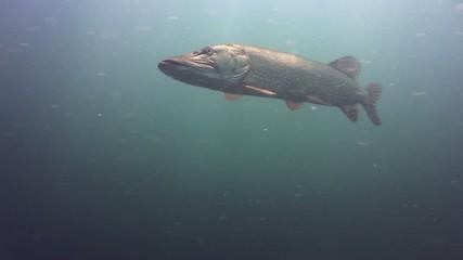 Hecht Unterwasser Binnensee 0066