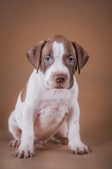 Pit bull puppy sweet