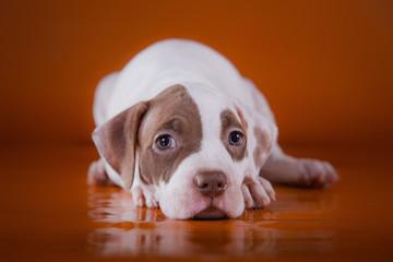 Pit bull puppy sweet