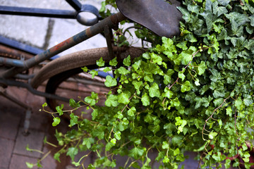 Ivy growing on an old bike