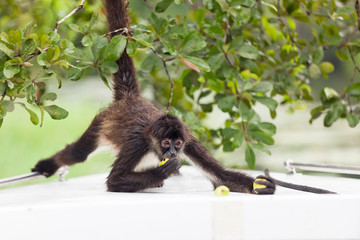 Spider Monkey Eating Guava
