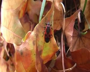 Firebug (Firefly), autumn leaves