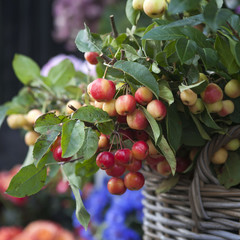 rennet tree in wicker basket. lot red ripe apples on a branch