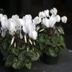 white cyclamens in bowl on barrel as decoration near stone wall