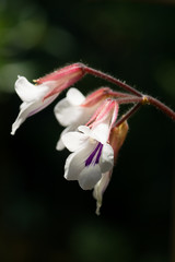 Chirita tamiana, Gesneriaceae, tropical Asia
