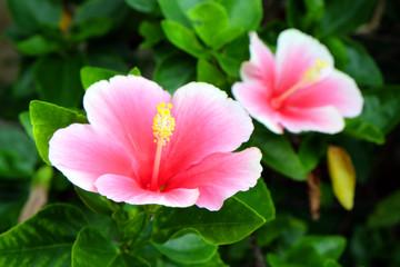 Pink hibiscus Flower,Tropical Flower.