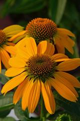 Orange echinacea flowers