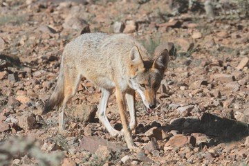 Western Coyote (Canis latrans)