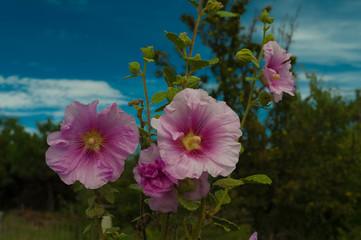 Roses trémière.