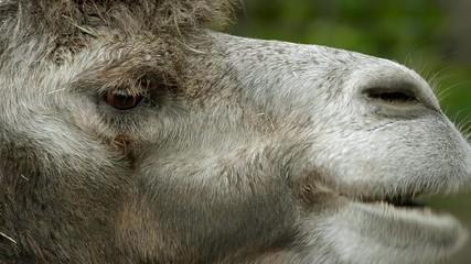 Ruminating bactrian camel (Camelus bactrian)