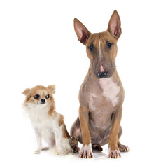bull terrier and chihuahua