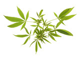 Compromised wild hemp isolated on white background poster