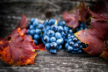Ripe grapes on autumn harvest at vineyard with leaves