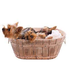 Two yorkshire terrier in basket on white background