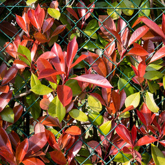Autumn hedge, fence, fall colors, colours. Red leaves.