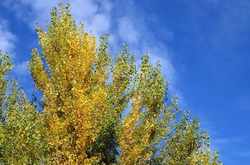 poplars in autumn
