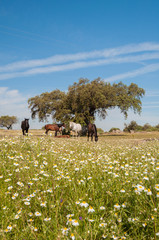 Horses in the pastures. Spring day. Extremadura, Spain