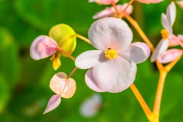Begonia fenicia, Begoniaceae, endangered species VU