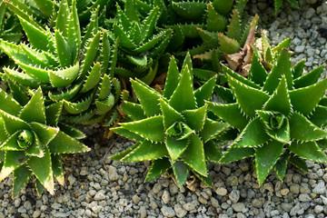 Aloe breviforia, Liliaceae, southern Africa