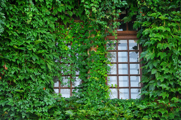 Windows covered by green ivy