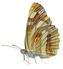 Butterfly (Neptis thisbe) 7