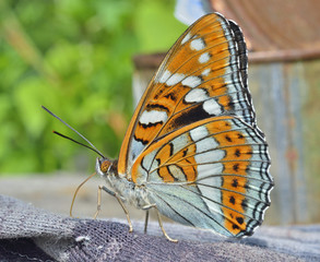 Butterfly (Limenitis populi ussuriensis) 2