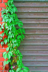 Curly Parthenocissus on the background of a wooden fence with br