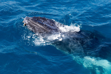 Whale in Hervey Bay