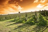 Summer evening vineyard