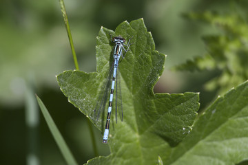 Blue dragonfly on green background