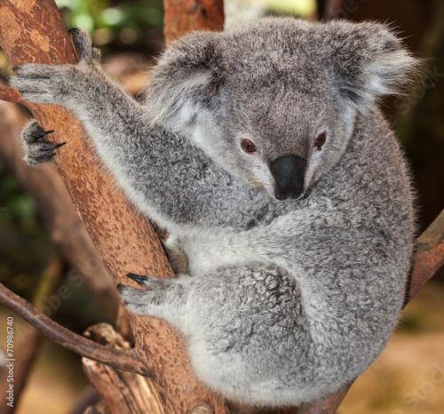 Adult Koala