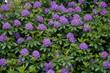 canvas print picture - Blumenmeer violett