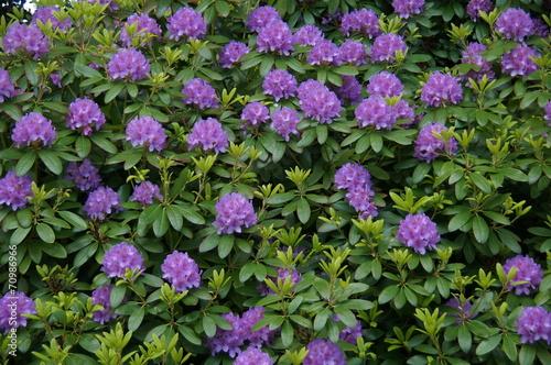 canvas print picture Blumenmeer violett