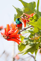 A wild Greater Double-Collared Sunbird feeding on a red flower