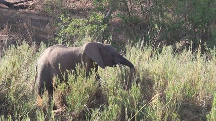 A wild African Elephant feeding on reeds near a river