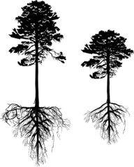 isolated two high black pines with roots