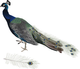 peacock and feathre isolated on white