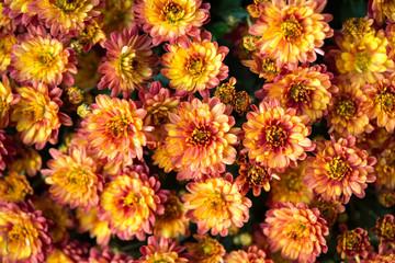 Chrysanthemenblüten-Hintergrund