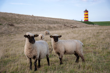 Schafe am Pilsumer Leuchtturm
