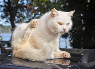 white cat whith different eyes sitting on a car roof