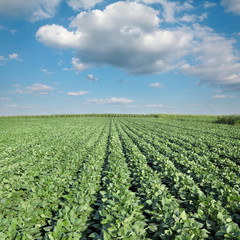 Soy plant in field with  blue sky and white fluffy cloud