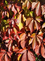 Wild grape leaves, natural seaasonal autumn vintage background
